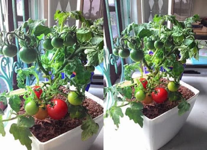 bí quyết trồng cà chua tại nhà