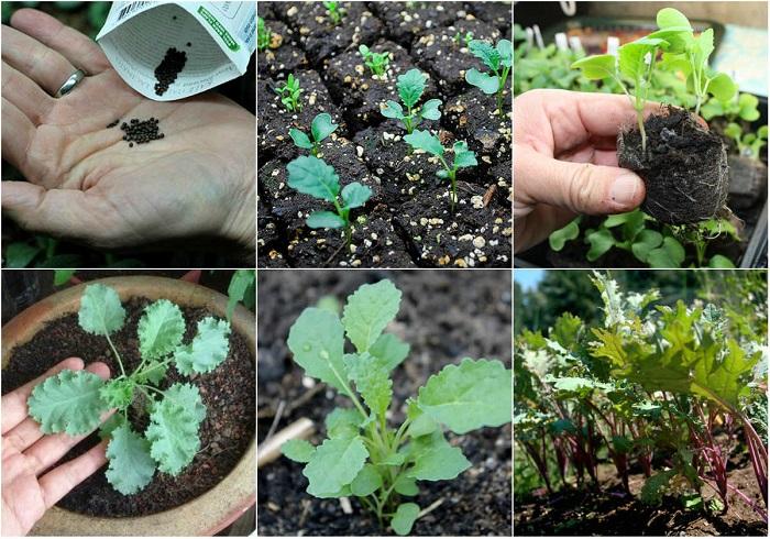 cách trồng cải xoăn kale trong thùng xốp