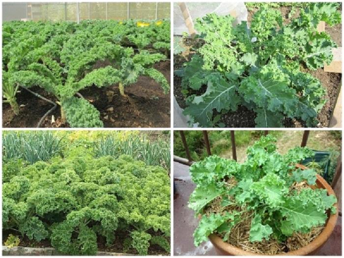 cách trồng cải xoăn kale trong thùng xốp tại nhà