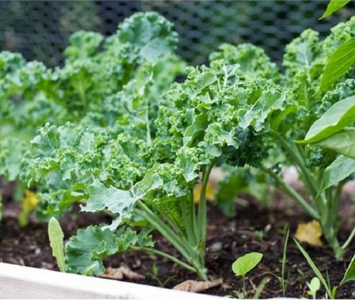 bí quyết trồng cải xoăn kale trong thùng xốp