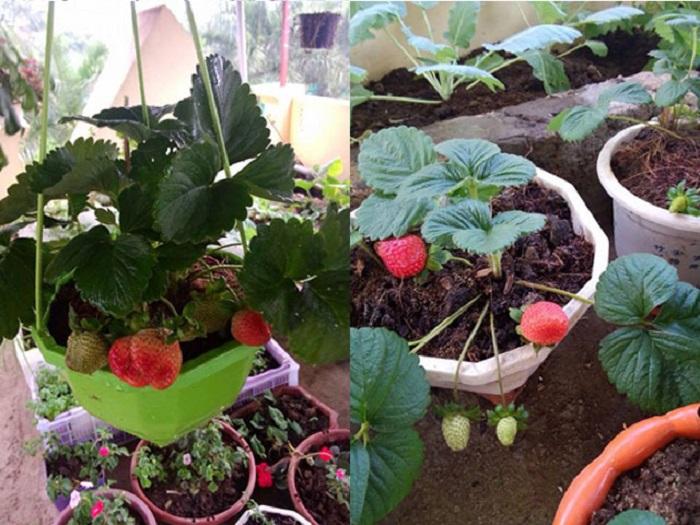 mẹo trồng dâu tây tại nhà siêu quả