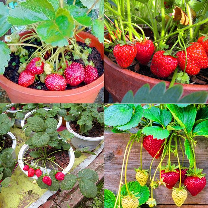 cách trồng dâu tây tại nhà