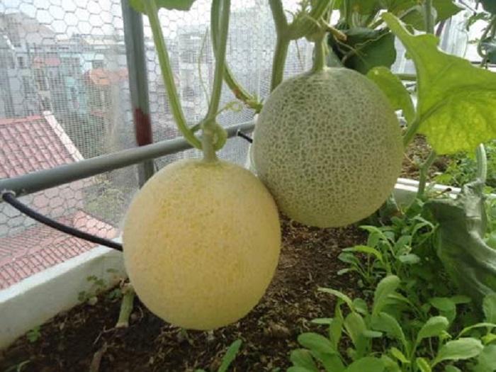 bí quyêt trồng dưa lưới trên sân thượng