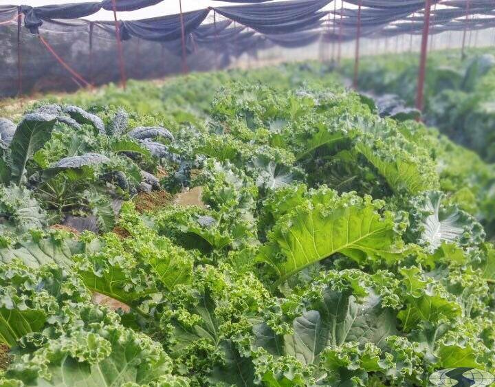 Trồng hạt giống cải kale