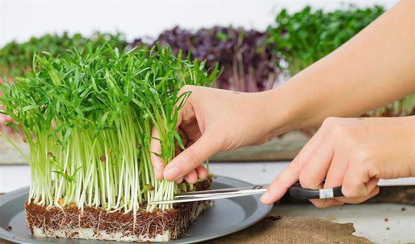 Trồng hạt giống rau mầm tại nhà