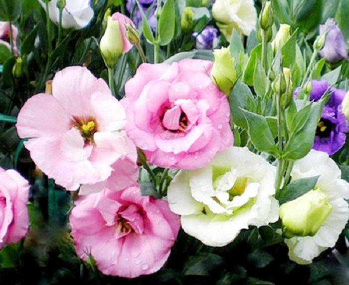cách trồng hoa cát tường tại nhà