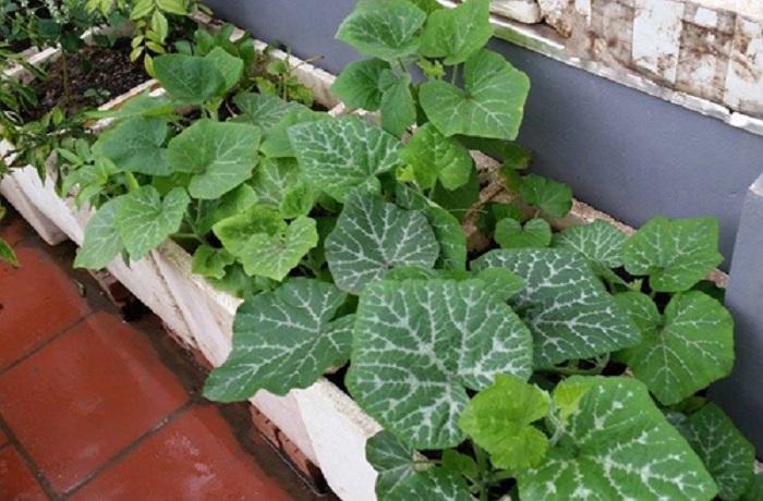 trồng lặc lè trên sân thượng