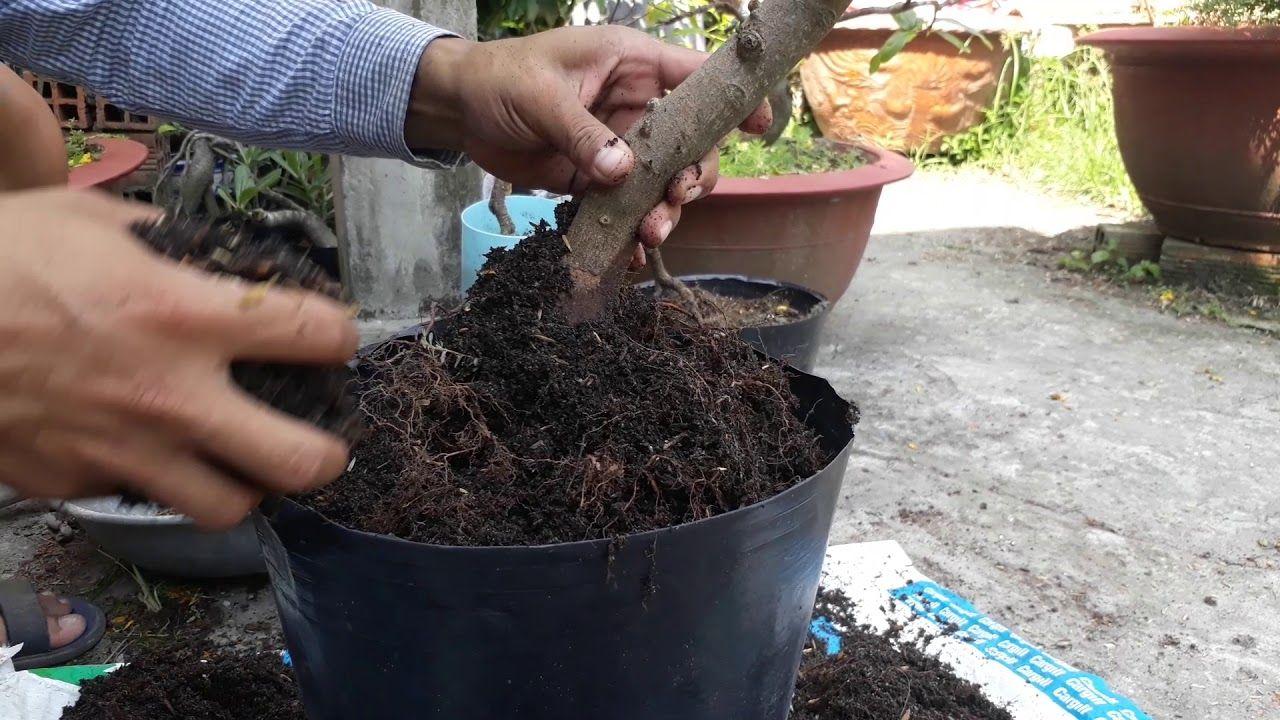 Trồng mai bằng đất trồng mai tribat
