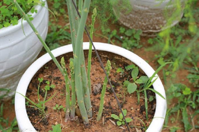 bí quyêtr trồng măng tây tại nhà