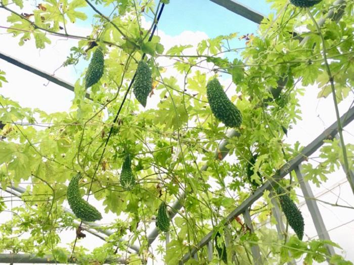 bí quyết trồng mướp đắng sai quả