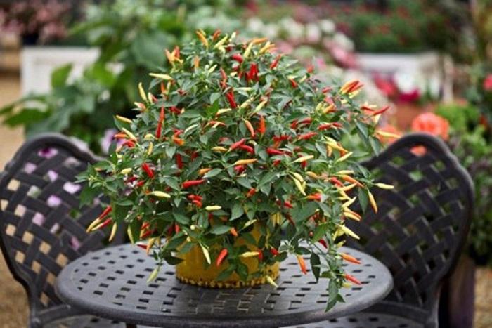 bí quyết trồng ớt tại nhà