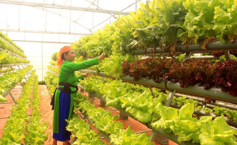 Để đảm bảo chất lượng trong việc trồng rau chuẩn VietGap cần hái đúng độ chín