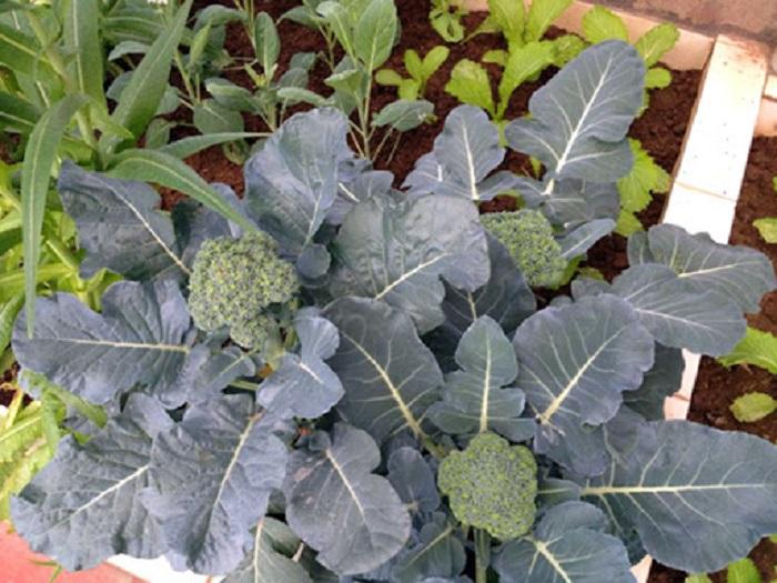trồng súp lơ trên sân thượng