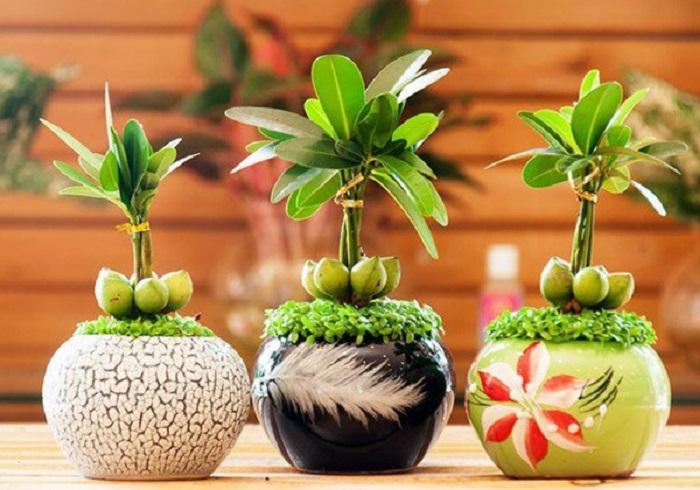 trồng và chăm sóc cây tài lộc tại nhà