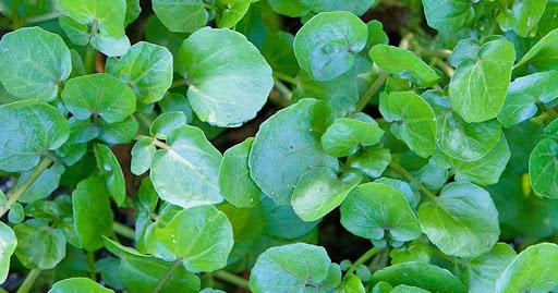 Xà lách xoong Nhật tương đối dễ trồng và dễ chăm sóc