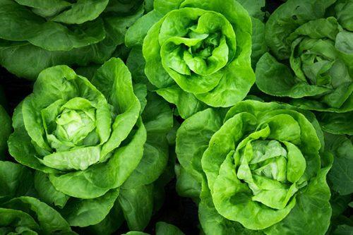 Cây rau xà lách mỡ cần được dọn cỏ thường xuyê