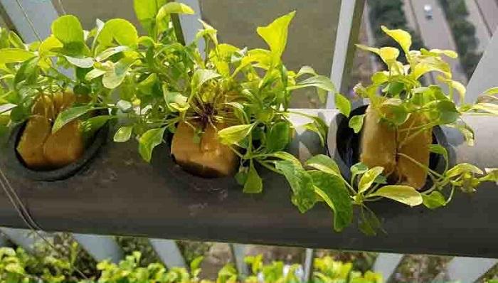 cách khắc phục cây rau lên được một thời gian rồi chết