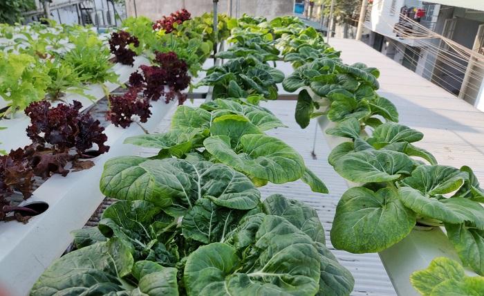 Rau trồng dưới mái tôn